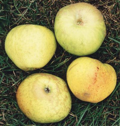 applebossom