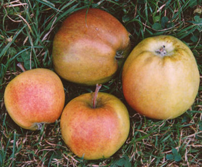 applesussexmother